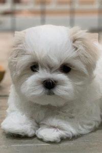 Daisy puppy