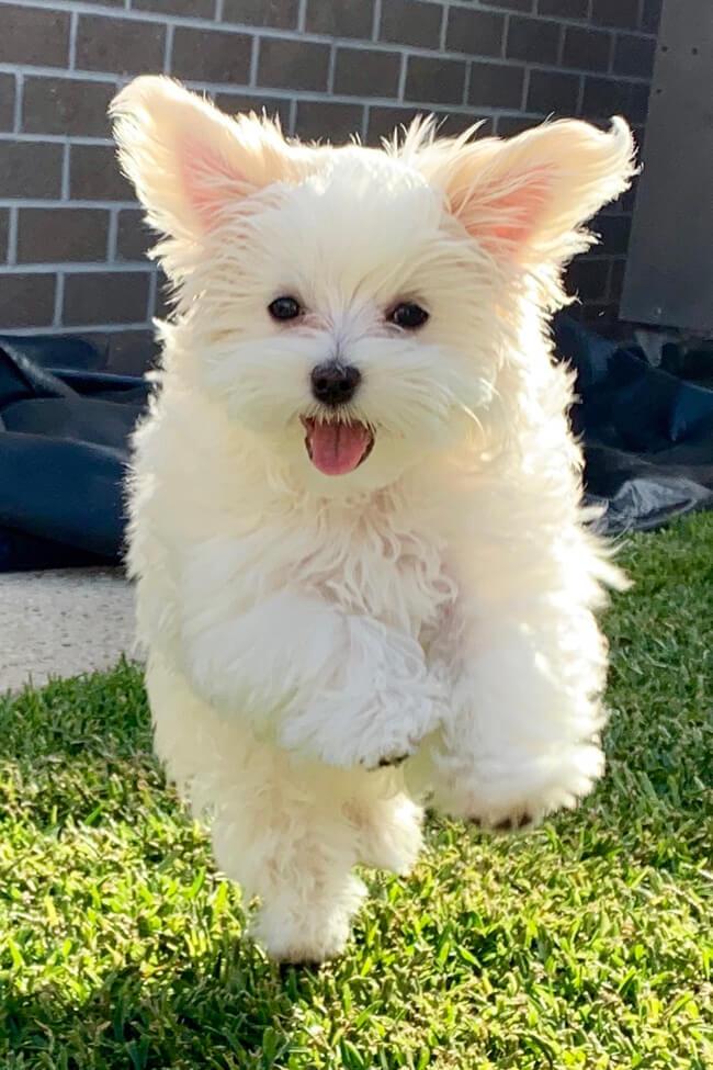 Rupert pet puppy