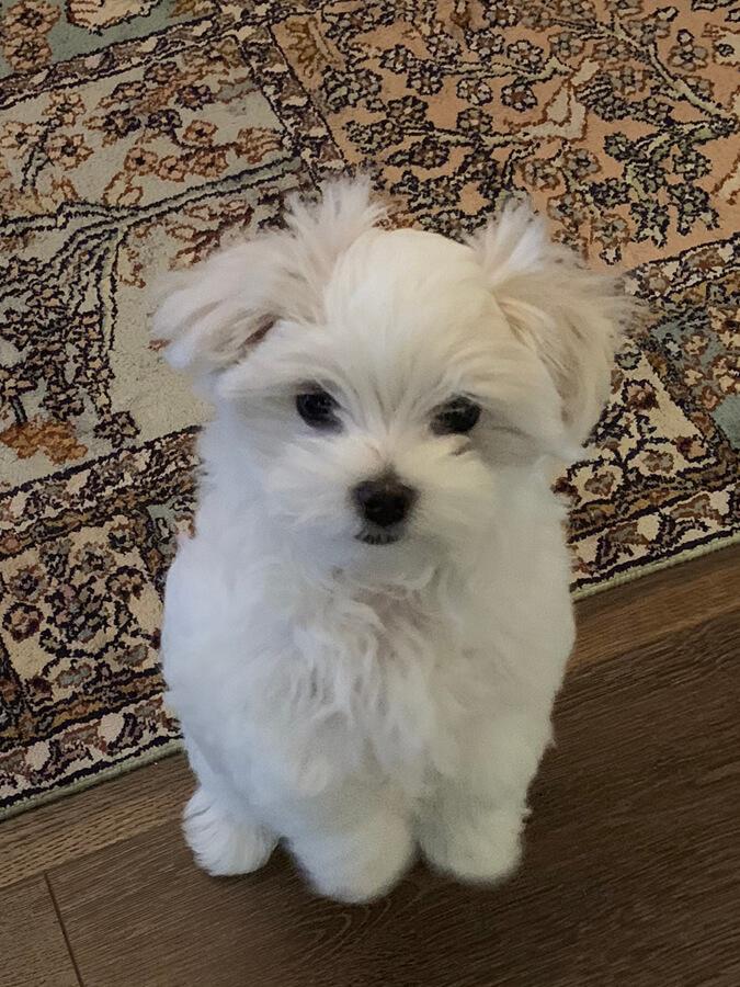 Rupert puppy